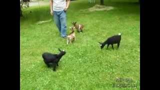 getlinkyoutube.com-Yerinde Duramayan Hiperaktif Keçi-restless hyperactive goat