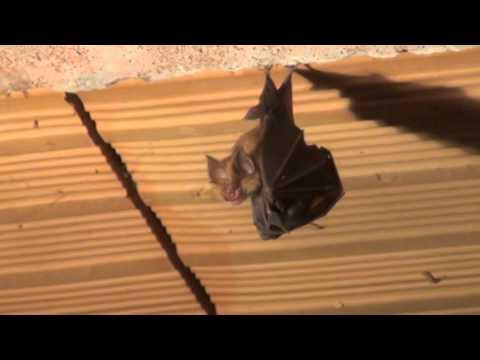 pipistrelli in giochi amorosi
