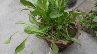 how to grow spinach in pot at home kitchen gardening