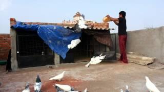 getlinkyoutube.com-High flying pigeon frm india hyderabad mujahid