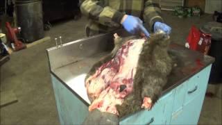 getlinkyoutube.com-Professional Fur Handling, Beaver  Part 1 Skinning