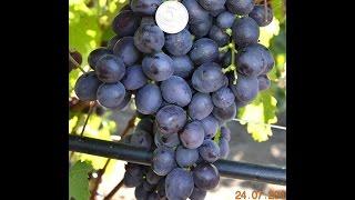 getlinkyoutube.com-Виноград Аюта (Grape Ayuta) 2015