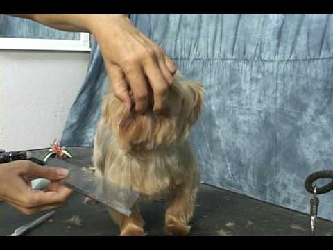 Yorkie grooming.  Learn how to groom a yorkie, yorkshire terrier,  at