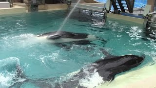 getlinkyoutube.com-BETTER VIDEO of SeaWorld Killer Whales Playing with the Automatic Water Spray (6/15/15)