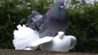 getlinkyoutube.com-Male fantail pigeon kissing and mateing with female dove (2)