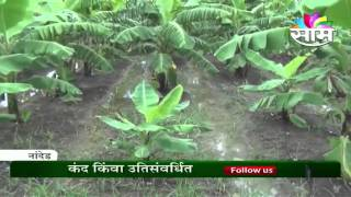 Banana cultivation guidance by Dr. S V Dhutraj,Banana Research Station,Nanded