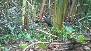 getlinkyoutube.com-ครืนดักนกกวักหมอรัฐ(แบบมีล็อก)2