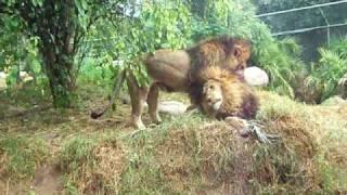 getlinkyoutube.com-Gay Lions