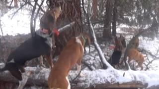getlinkyoutube.com-COLORADO BOBCAT HUNTING WITH THE FAMOUS BOOMER HOUND#5.