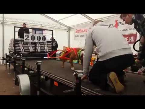 Weight pulling amstaff Beny 2000 kg