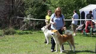 Akita inu Open Class competition at XXXI International Dog Show in Opole.