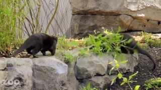 VIDEO: Woodland Park Zoo&apos;s new otters rearrange their new home