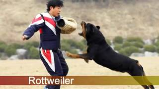 getlinkyoutube.com-¿Rottweiler vs Presa Canario? ¿Quien Gana?