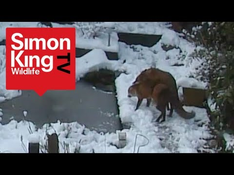 Foxes Mating - Very Rare Footage! - Fascinating Behaviour