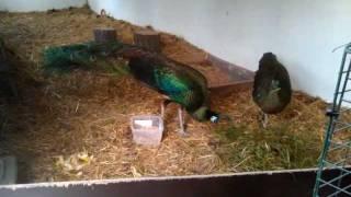 getlinkyoutube.com-Green Peafowls (Pavo muticus) feeding
