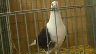 getlinkyoutube.com-Mejores colores PALOMAS MENSAJERAS,exposición Vegadeo por pájaros VILAS mascotas