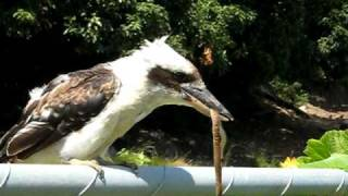 getlinkyoutube.com-Kookaburra and Red-naped Snake