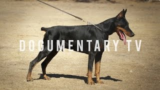 getlinkyoutube.com-DOBERMAN PINSCHERS ARE THE WATCH DOG FOR THE WHOLE FAMILY