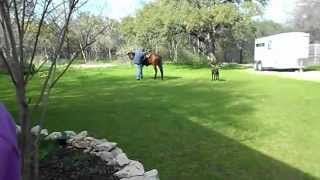 "getlinkyoutube.com-""Casey"" 3 year old AQHA stallion First Time Under Saddle"