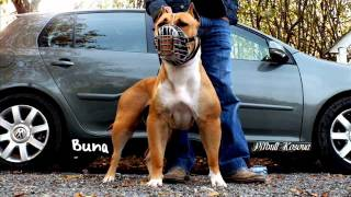 getlinkyoutube.com-pitbull muscles