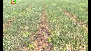 getlinkyoutube.com-Smart Farm: Garlic Farming
