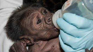 getlinkyoutube.com-Baby Gorilla Reunited With Family