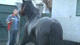 getlinkyoutube.com-ARMASAR NEGRU PERCHERON DEOSEBIT 4500EURO
