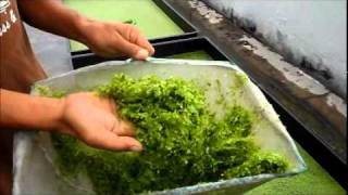 Duckweed Harvesting & Fish Feeding - Autopot Aquaponics
