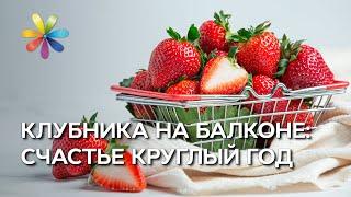 getlinkyoutube.com-Клубничная грядка на балконе! – Все буде добре. Выпуск 793 от 18.04.16