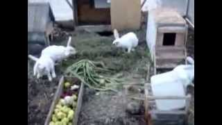 getlinkyoutube.com-Кролики в теплице Kaninchen im Gewächshaus серия№1
