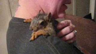 getlinkyoutube.com-The World's Tamest Squirrel - Snickers Cute Baby Squirrel