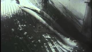 The whaling industry, hunting, killing and dismembering a whale, 1940's - Film 216