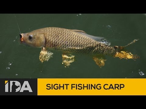 Lake Eildon fishing -  Carp on soft plastics