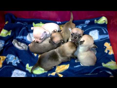 Watch the 3.5 Week Old Chihuahua Puppies video