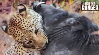 getlinkyoutube.com-Leopard Vs Warthog: Incredible Battle for Survival!