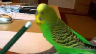 """getlinkyoutube.com-""""Fuck You!"""", Budgie, Funny Bird Bicir"""