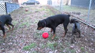 getlinkyoutube.com-Rottweilers and pit mix playing. Jade, Mishka and Oasis.
