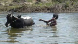 getlinkyoutube.com-Water harvesting- Cattle bath - A swim in the waters