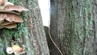 getlinkyoutube.com-Hunting Wild Oyster Mushrooms