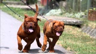 getlinkyoutube.com-Dogue de Bordeaux