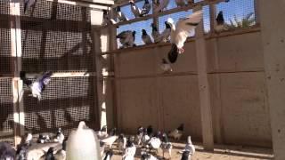 متعة الطيران مع طيور استاذ عبدالله حاتم ( الجزء الثالث)