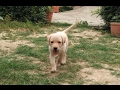Cute Labrador puppy playing with kids