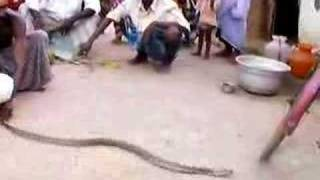 getlinkyoutube.com-Indian Cobra in South East India