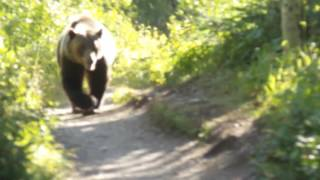 Grizzly Bear Encounter Aug 2016 Montana Glacier National Park