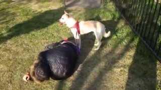 getlinkyoutube.com-【4月1日】飼い主が襲われたとき、犬は助けてくれるのか【検証】