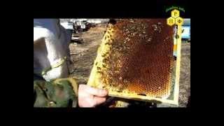 getlinkyoutube.com-Пчеловодство. Семья трутовка