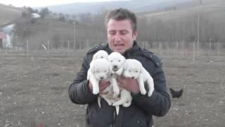getlinkyoutube.com-kangal samsun...akbaş yavrular