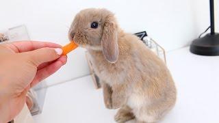 getlinkyoutube.com-Meet Marshmallow My Adorable Holland Lop Bunny