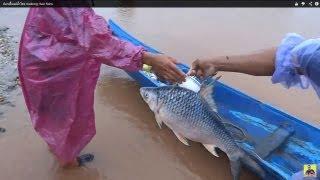 getlinkyoutube.com-ปลาเพี้ยแม่น้ำโขง mekong river fishs