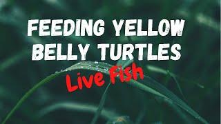getlinkyoutube.com-Feeding baby turtles live fish